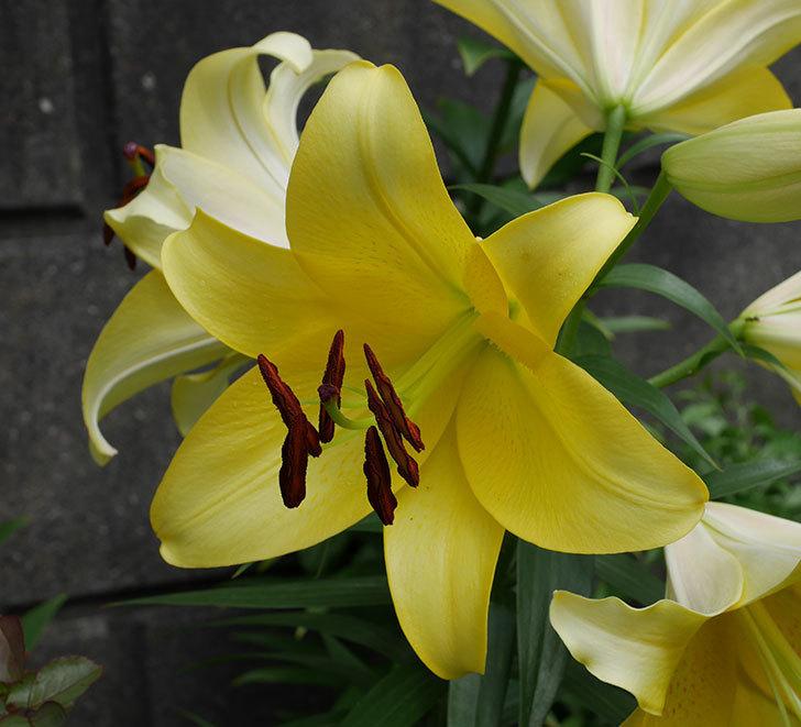薄い黄色のユリがたくさん咲いた。2018年-3.jpg