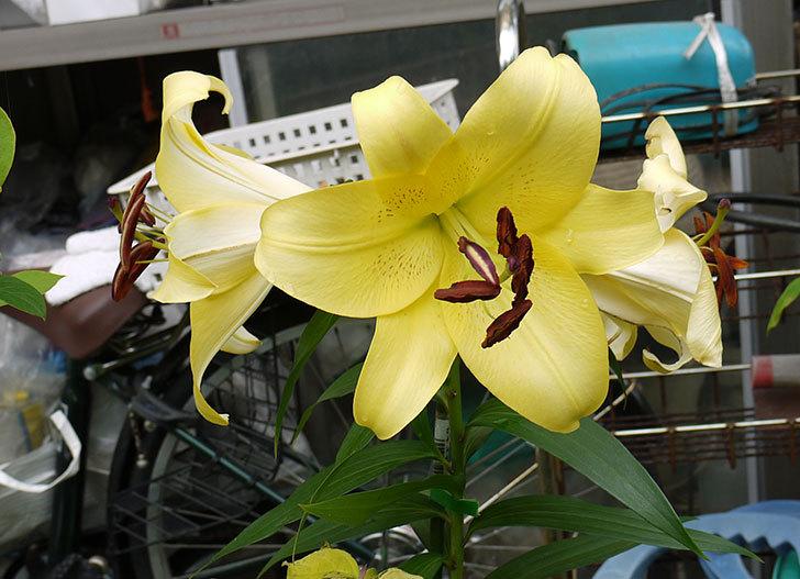 薄い黄色のユリが咲いた9.jpg