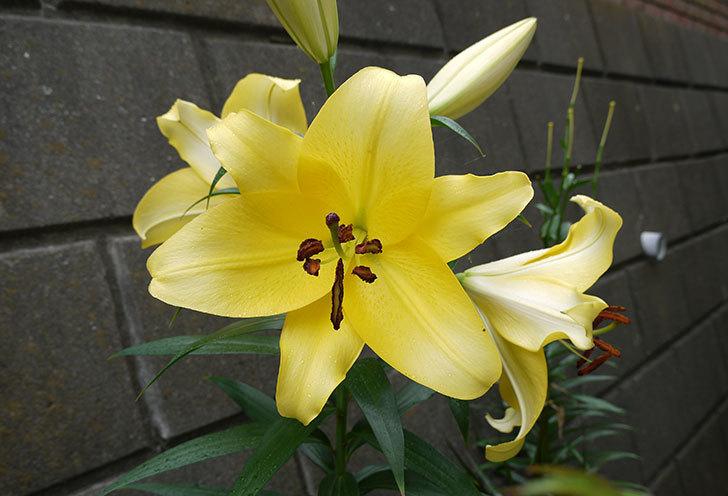 薄い黄色のユリが咲いた。2015年-1.jpg