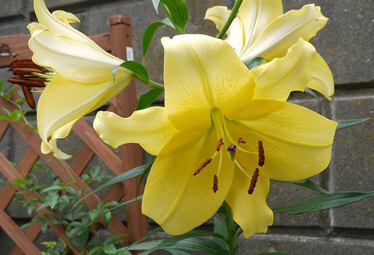 薄い黄色のユリが咲いた。2015年-2.jpg