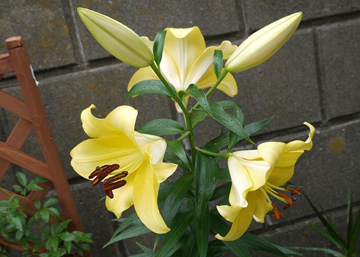 薄い黄色のユリが咲いた。2015年-3.jpg