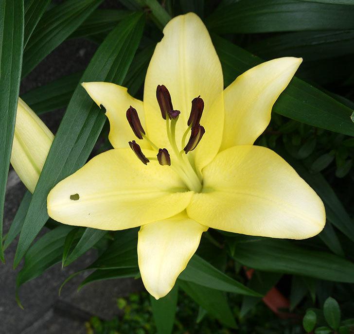 薄い黄色のユリが咲いた。2017年-1.jpg