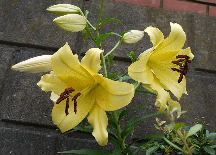 薄い黄色のユリの花が4個咲いた。2016年-1.jpg