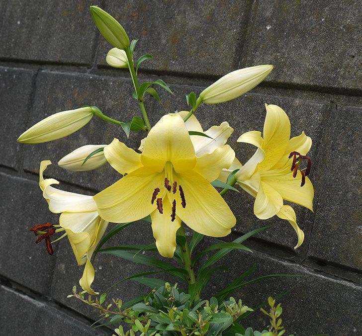 薄い黄色のユリの花が4個咲いた。2016年-2.jpg