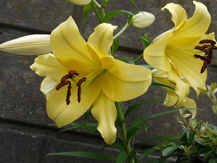 薄い黄色のユリの花が4個咲いた。2016年-3.jpg