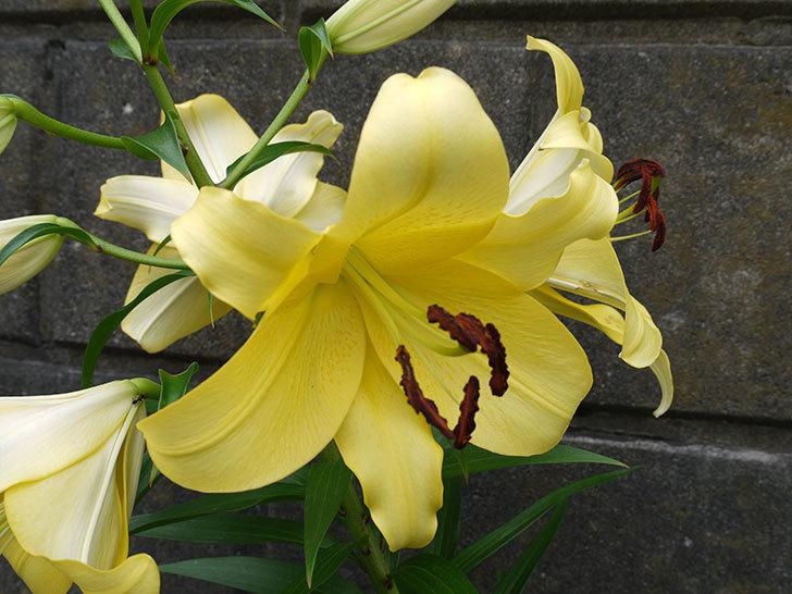 薄い黄色のユリの花が4個咲いた。2016年-4.jpg