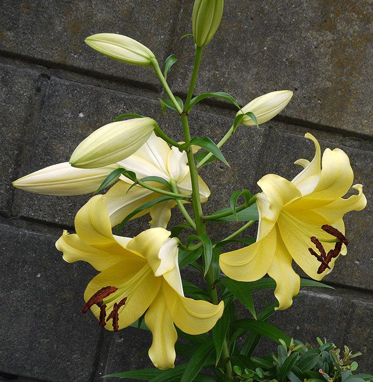 薄い黄色のユリの花が4個咲いた。2016年-5.jpg