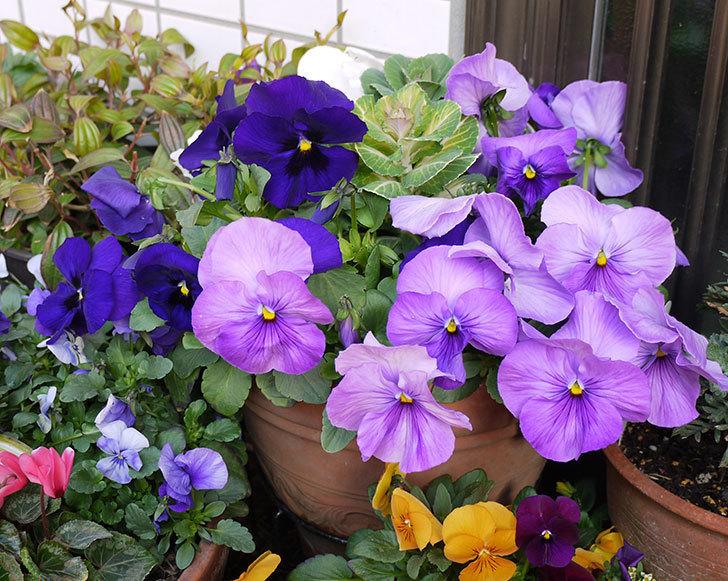 薄紫のパンジーが大量に咲いた1.jpg