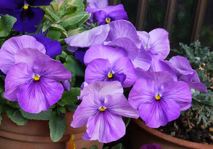 薄紫のパンジーが大量に咲いた2.jpg