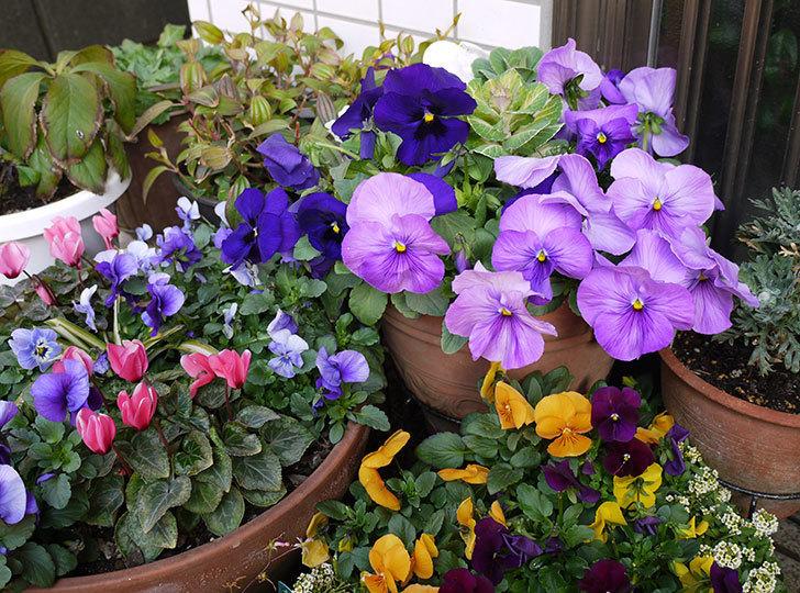 薄紫のパンジーが大量に咲いた3.jpg