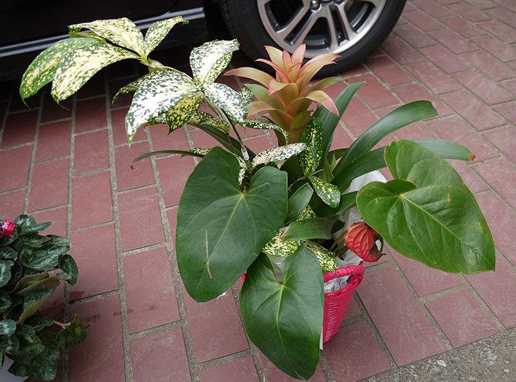 観葉植物のセット鉢がホームズで500円だったので買って来た1.jpg