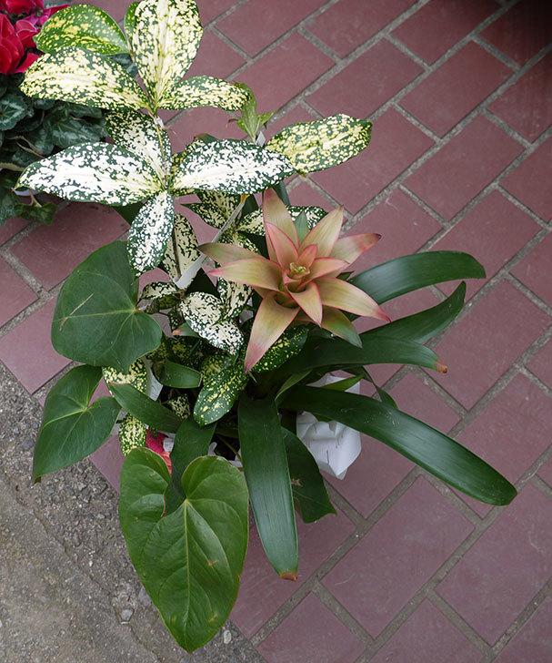 観葉植物のセット鉢がホームズで500円だったので買って来た2.jpg
