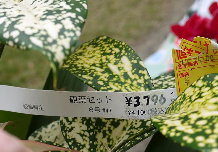 観葉植物のセット鉢がホームズで500円だったので買って来た4.jpg
