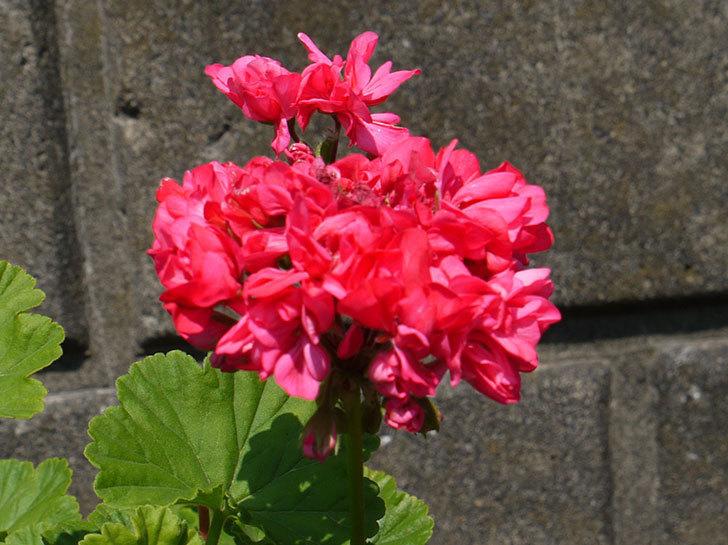 赤いのゼラニウムの花が咲いた。2016年-2.jpg