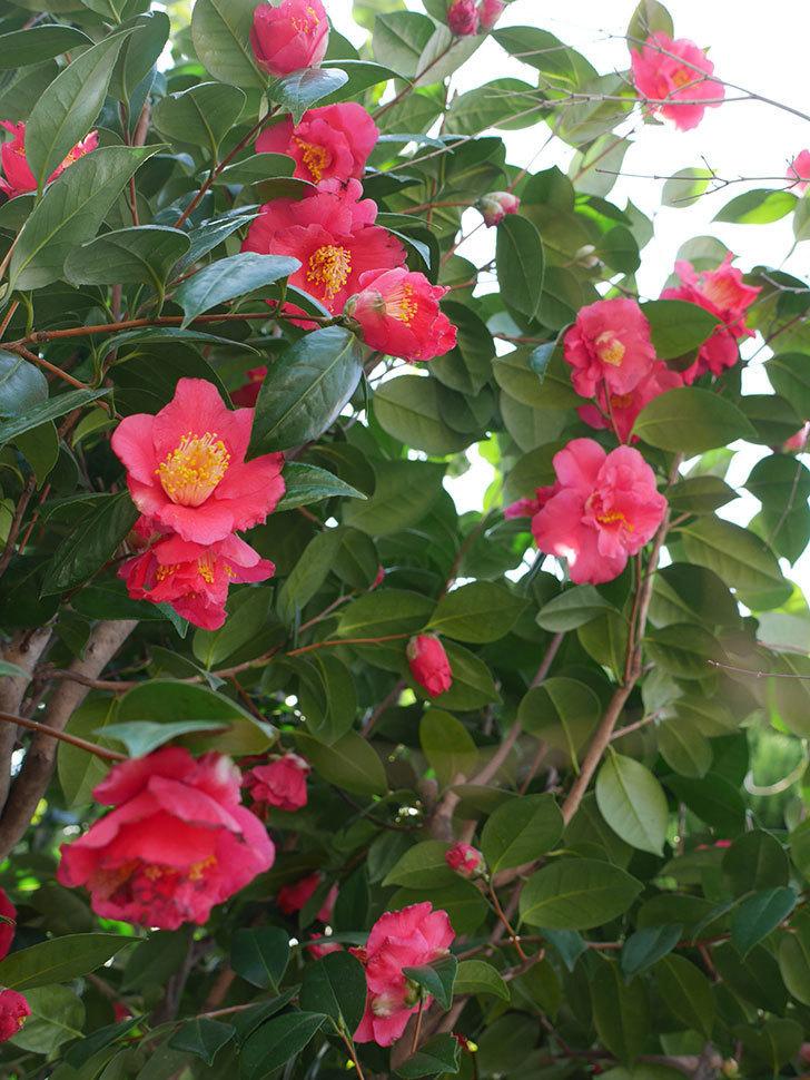 赤いのツバキの花がたくさん咲いた。2021年-001.jpg