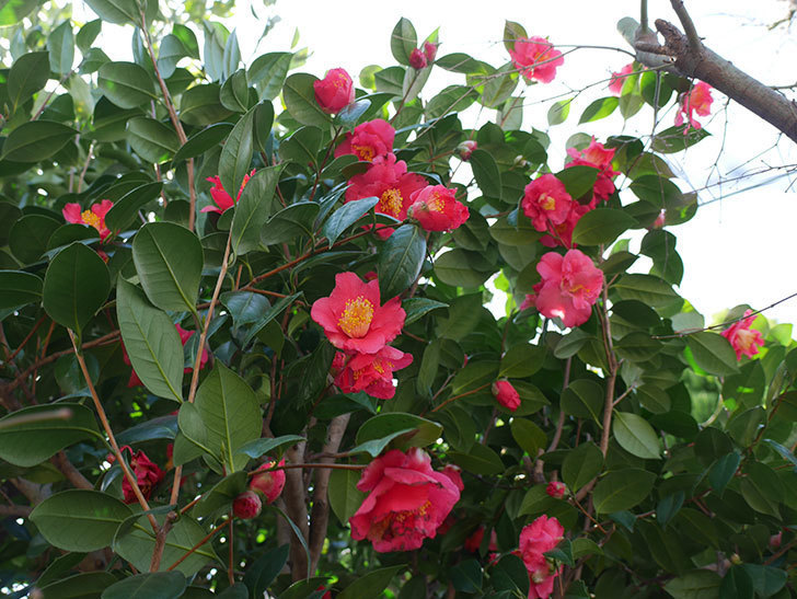 赤いのツバキの花がたくさん咲いた。2021年-004.jpg