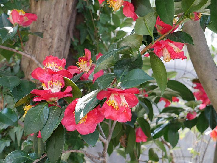 赤いのツバキの花がたくさん咲いた。2021年-006.jpg