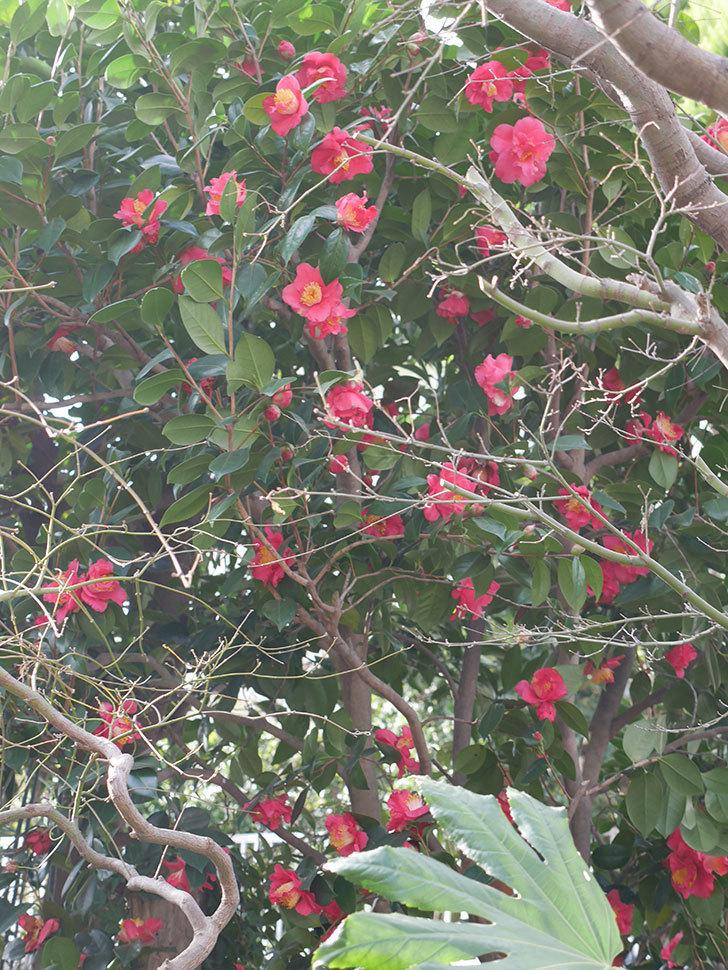 赤いのツバキの花がたくさん咲いた。2021年-007.jpg