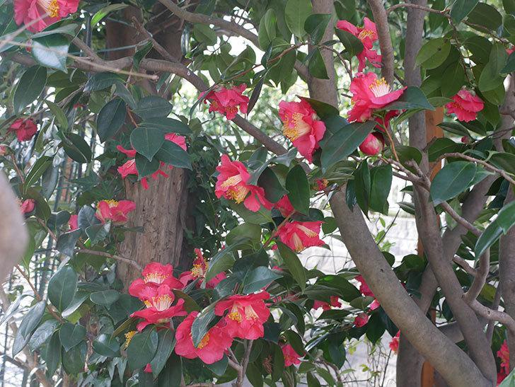 赤いのツバキの花がたくさん咲いた。2021年-008.jpg