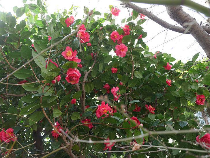 赤いのツバキの花がたくさん咲いた。2021年-009.jpg