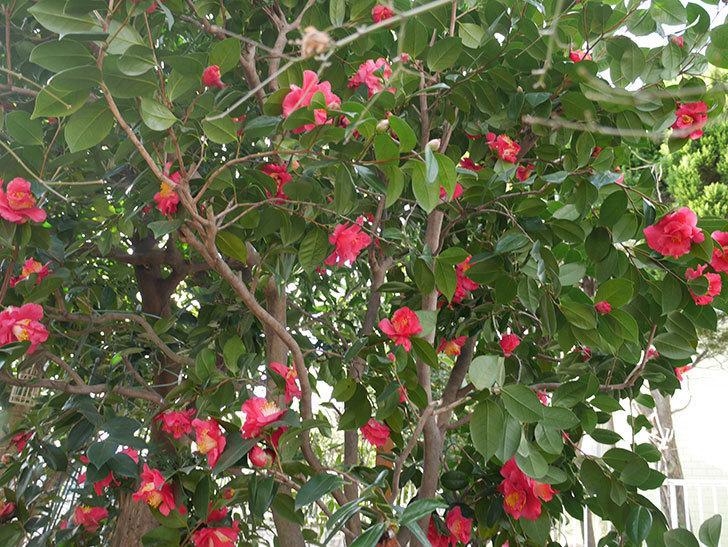 赤いのツバキの花がたくさん咲いた。2021年-010.jpg