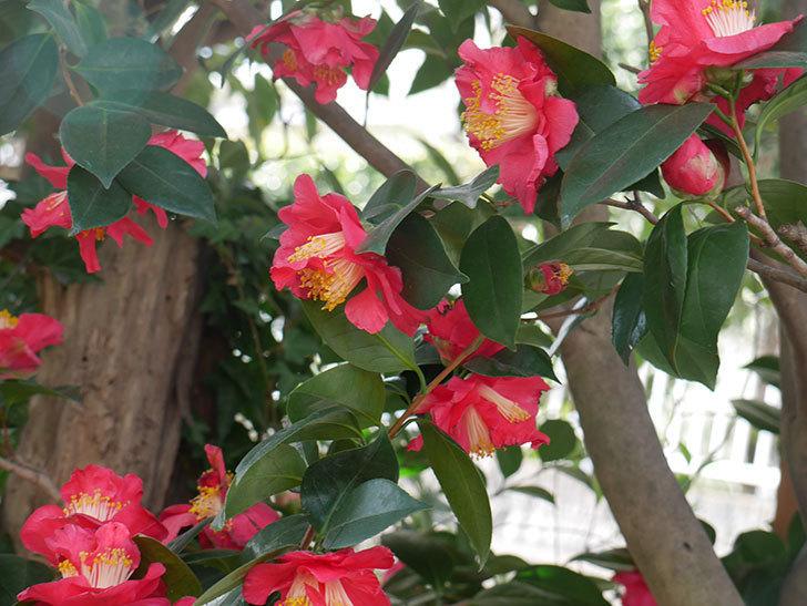 赤いのツバキの花がたくさん咲いた。2021年-012.jpg