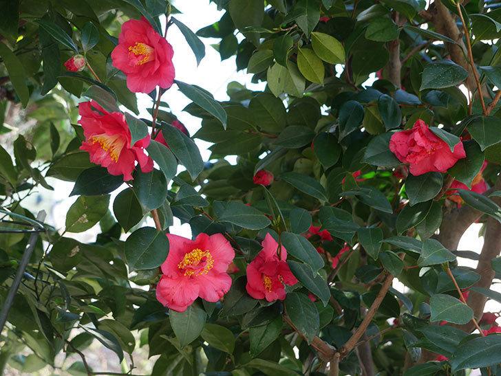 赤いのツバキの花がたくさん咲いた。2021年-013.jpg