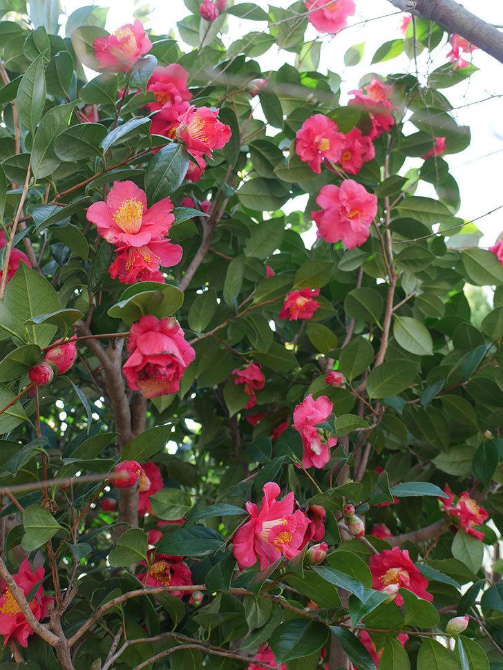 赤いのツバキの花がたくさん咲いた。2021年-015.jpg