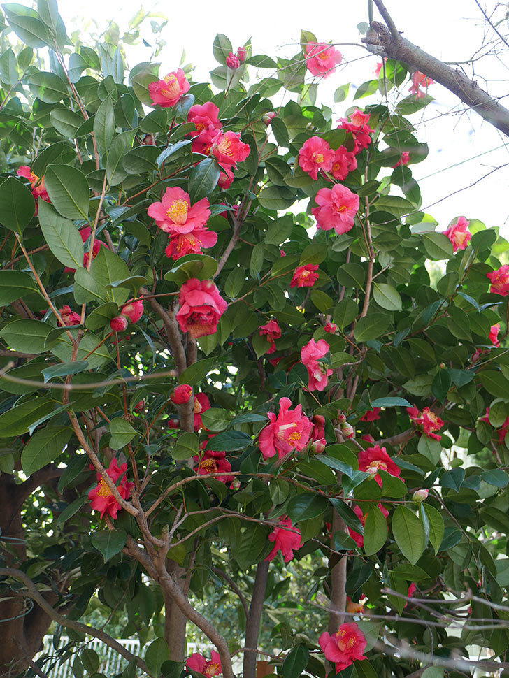 赤いのツバキの花がたくさん咲いた。2021年-016.jpg