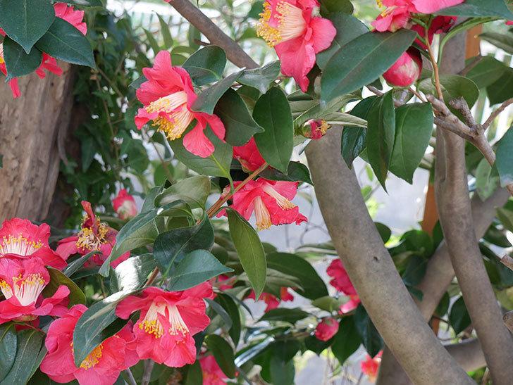 赤いのツバキの花がたくさん咲いた。2021年-017.jpg
