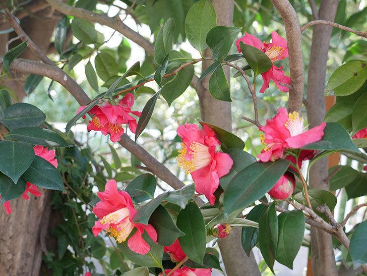 赤いのツバキの花がたくさん咲いた。2021年-018.jpg