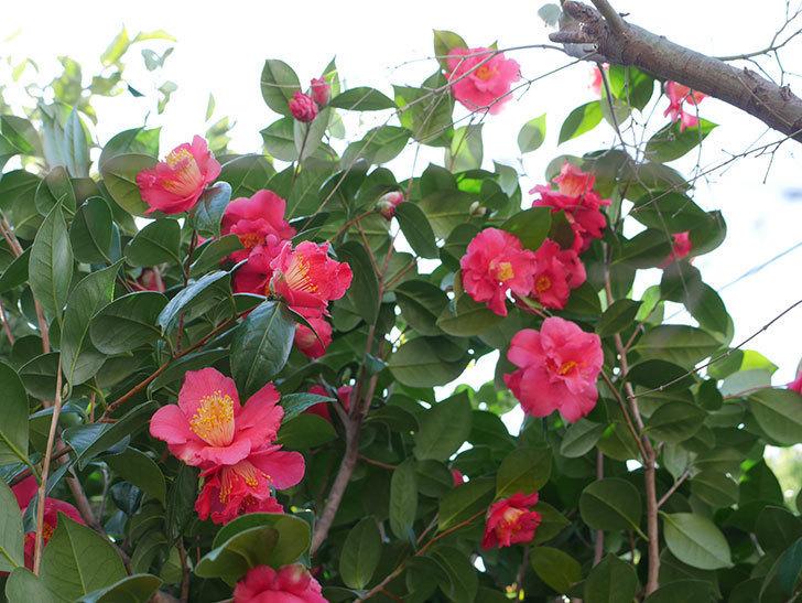 赤いのツバキの花がたくさん咲いた。2021年-019.jpg