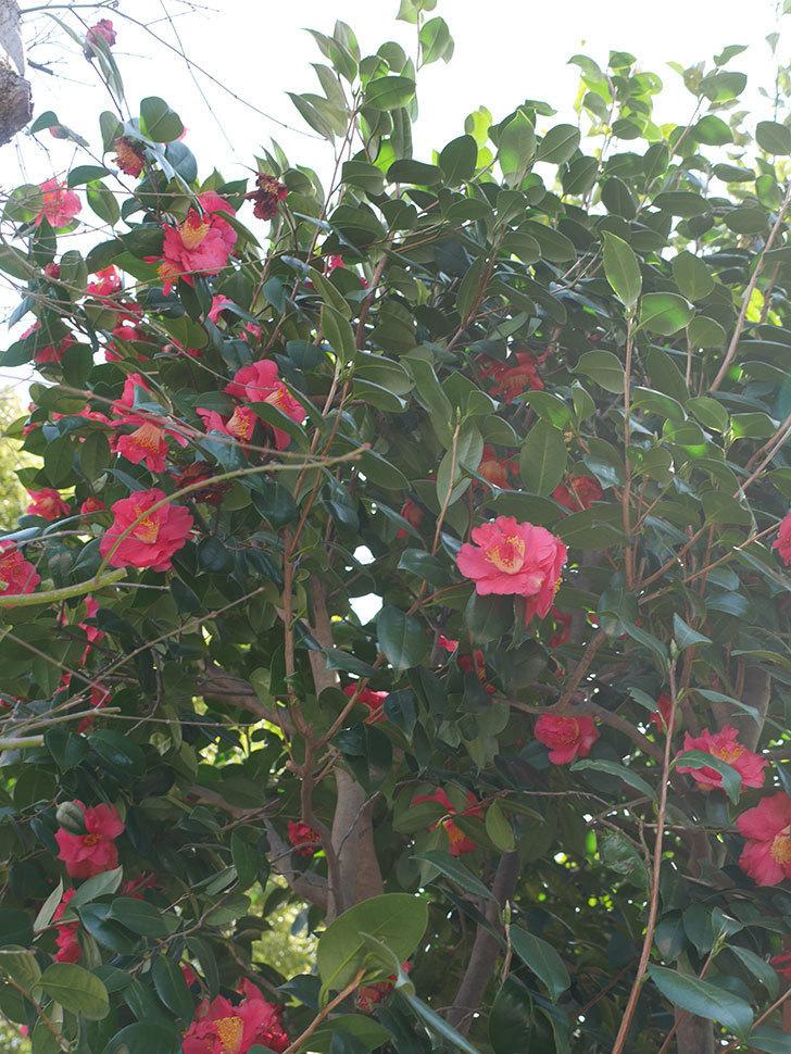 赤いのツバキの花がたくさん咲いた。2021年-029.jpg