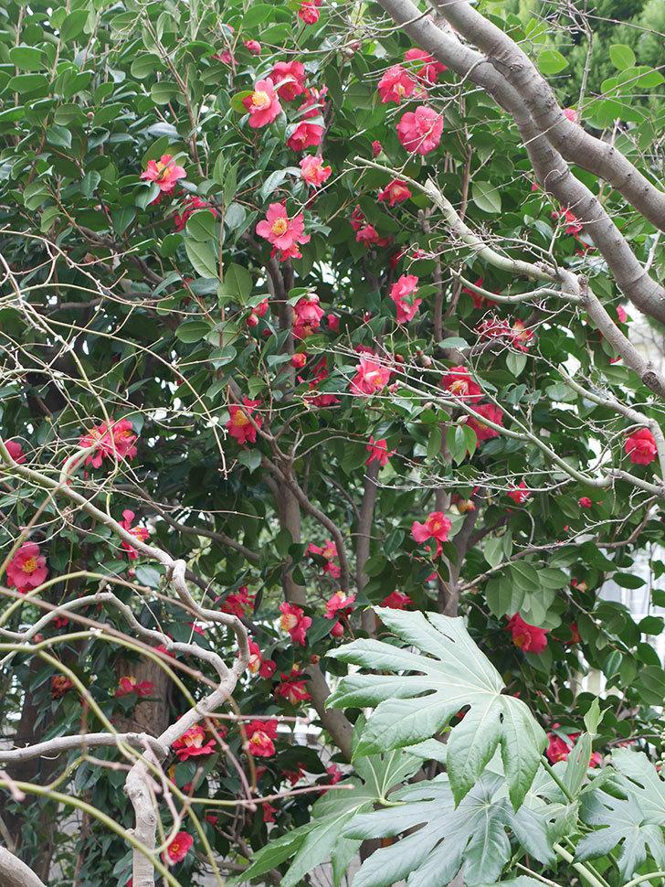 赤いのツバキの花がたくさん咲いた。2021年-030.jpg
