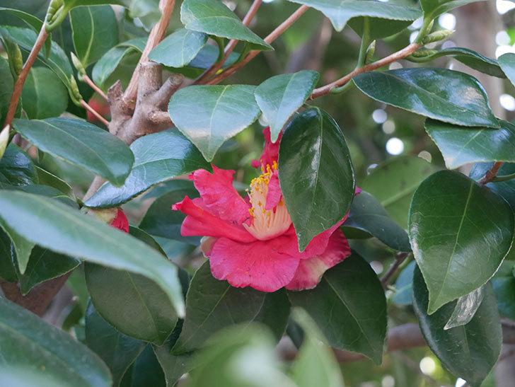 赤いのツバキの花が咲きだした。2021年-005.jpg