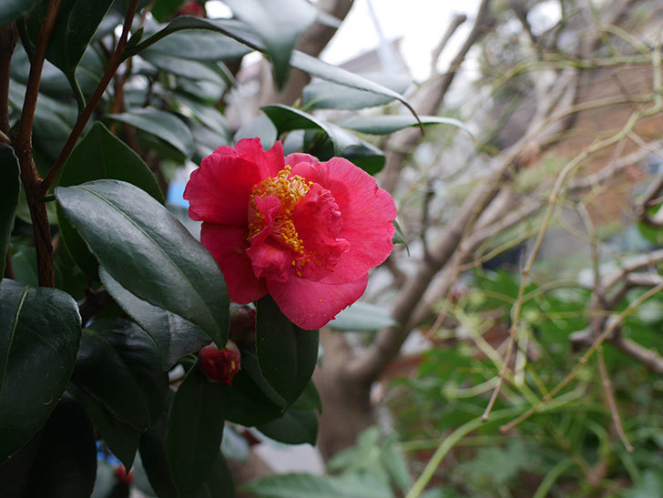 赤いのツバキの花が咲きだした。2021年-008.jpg