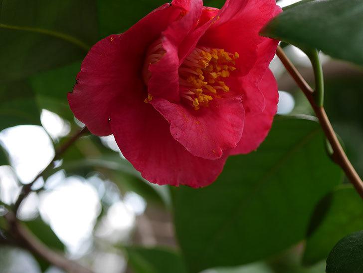 赤いのツバキの花が咲きだした。2021年-009.jpg