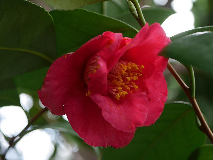 赤いのツバキの花が咲きだした。2021年-010.jpg