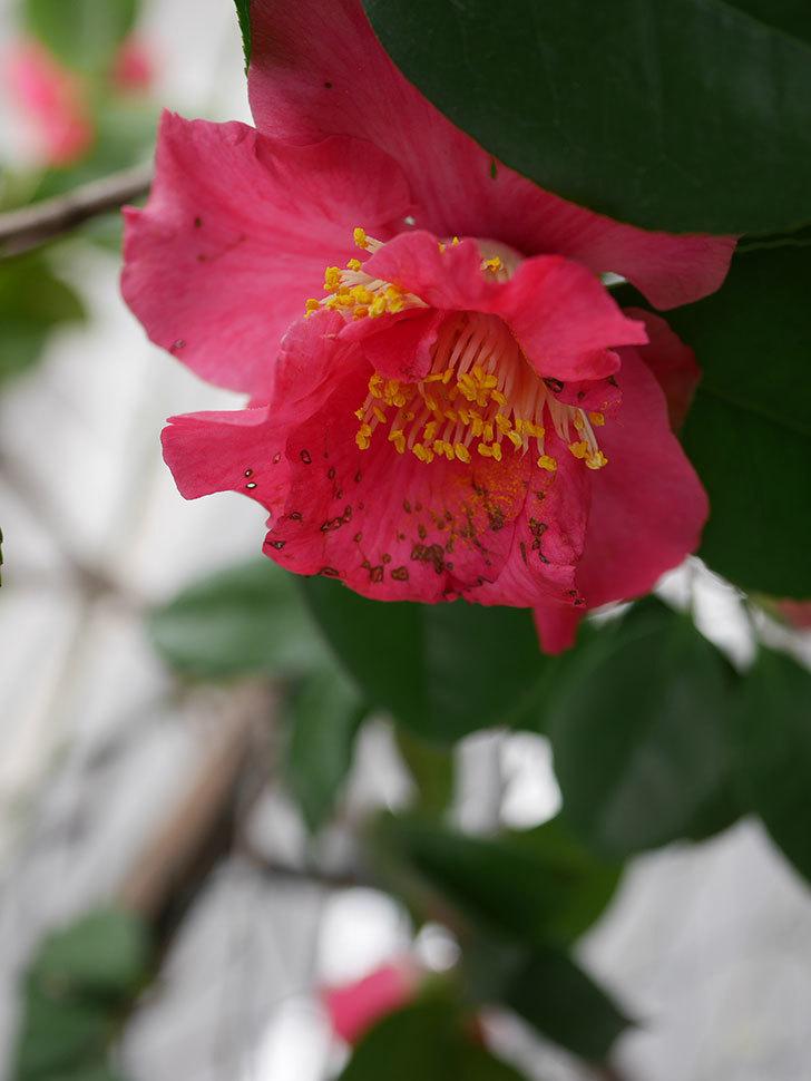 赤いのツバキの花が咲きだした。2021年-011.jpg