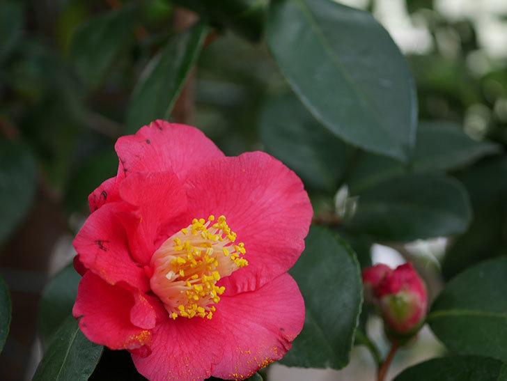 赤いのツバキの花が咲きだした。2021年-015.jpg