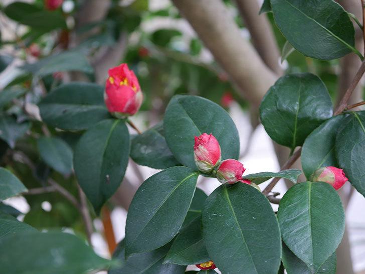赤いのツバキの花が咲きだした。2021年-016.jpg