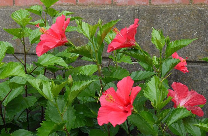 赤いのハイビスカスがたくさん咲いた。2015年-2.jpg