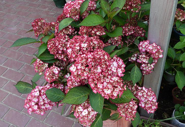 赤いアジサイが咲き始めた2.jpg