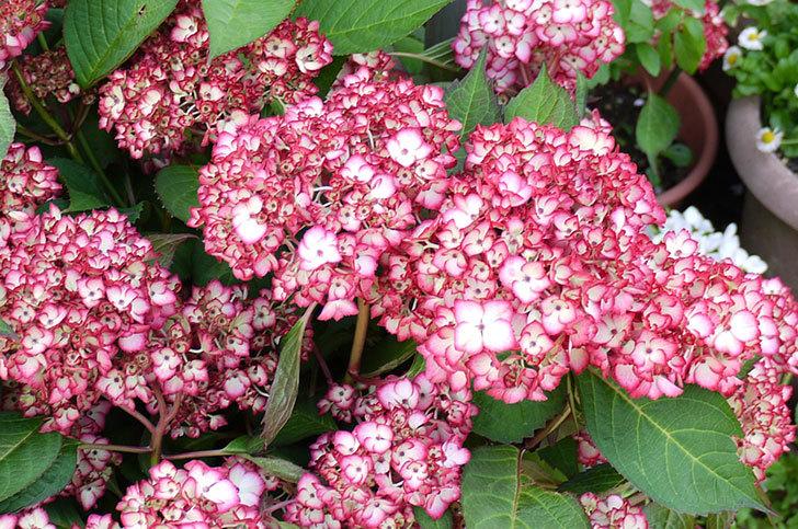 赤いアジサイが咲き始めた3.jpg