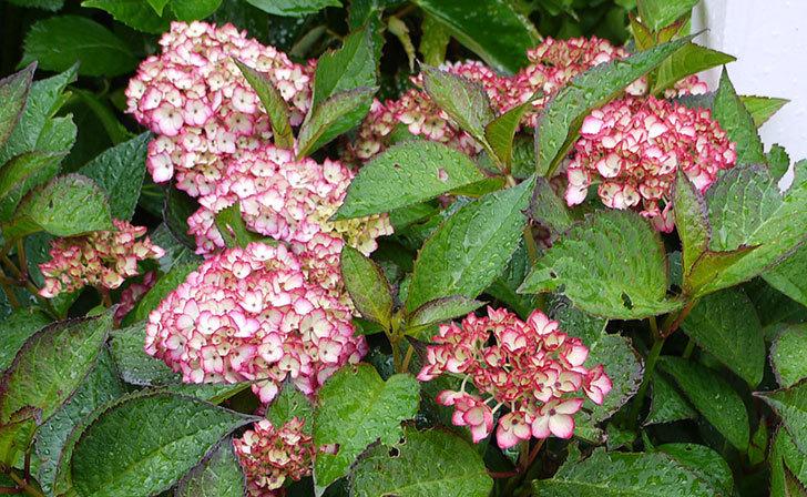 赤いアジサイが咲き始めた。2015年-3.jpg