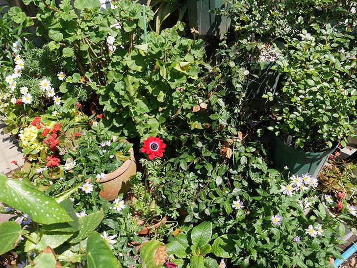 赤いアネモネの花が咲いた。2019年-5.jpg