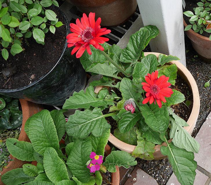 赤いガーベラが2個咲いた。2018年-4.jpg