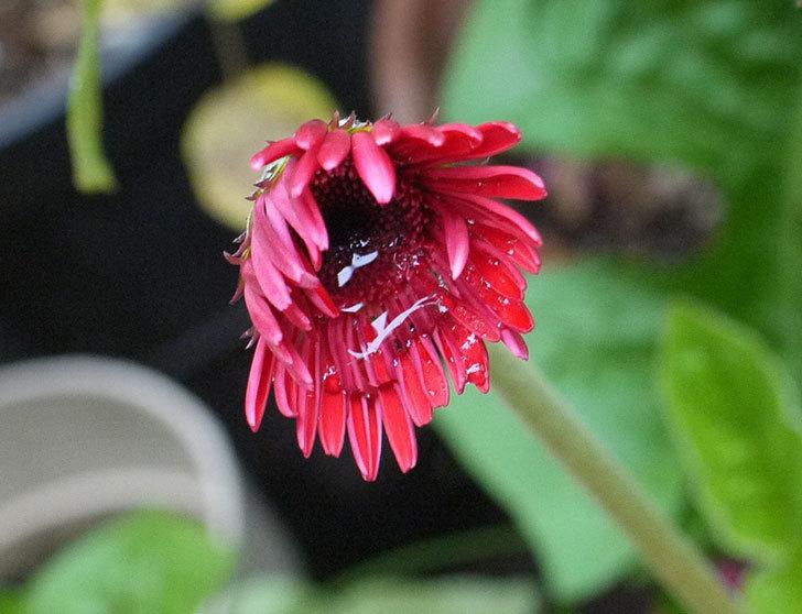 赤いガーベラがまた咲いた。2016年-1.jpg