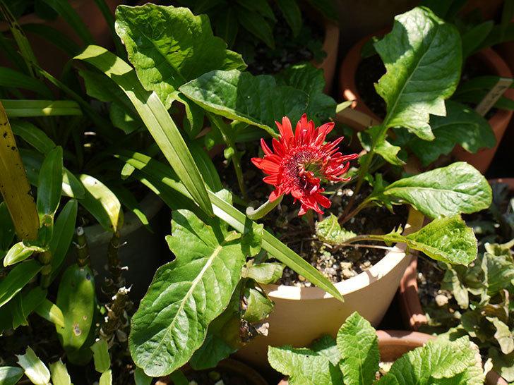 赤いガーベラが咲いた。2016年-3.jpg