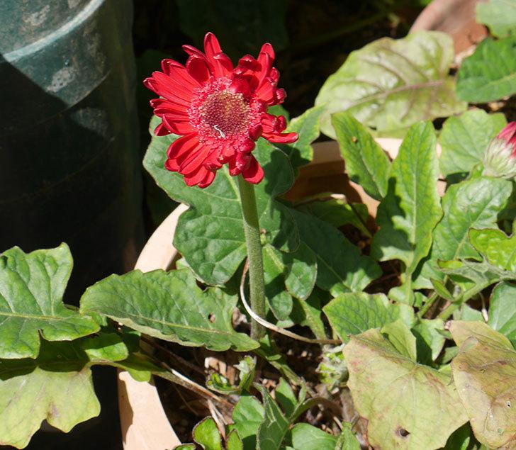 赤いガーベラが咲いた。2018年-1.jpg